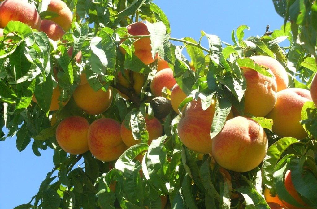 Fruta de hueso de temporada
