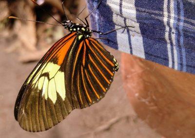 macabeo_peru_mariposa